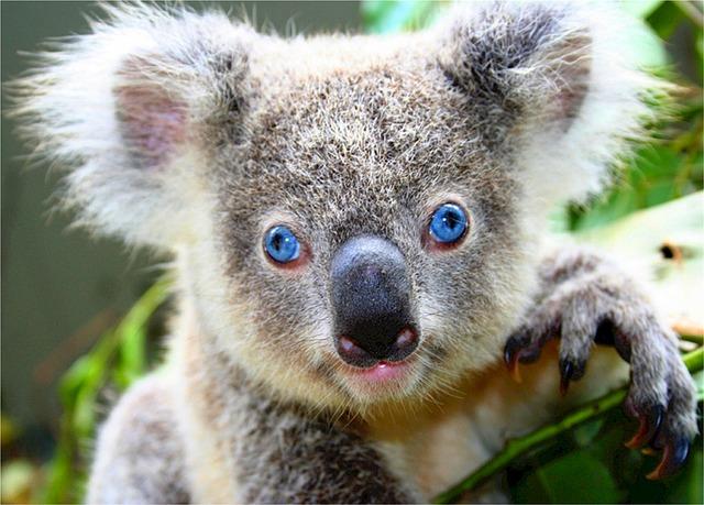 koala-518312_640